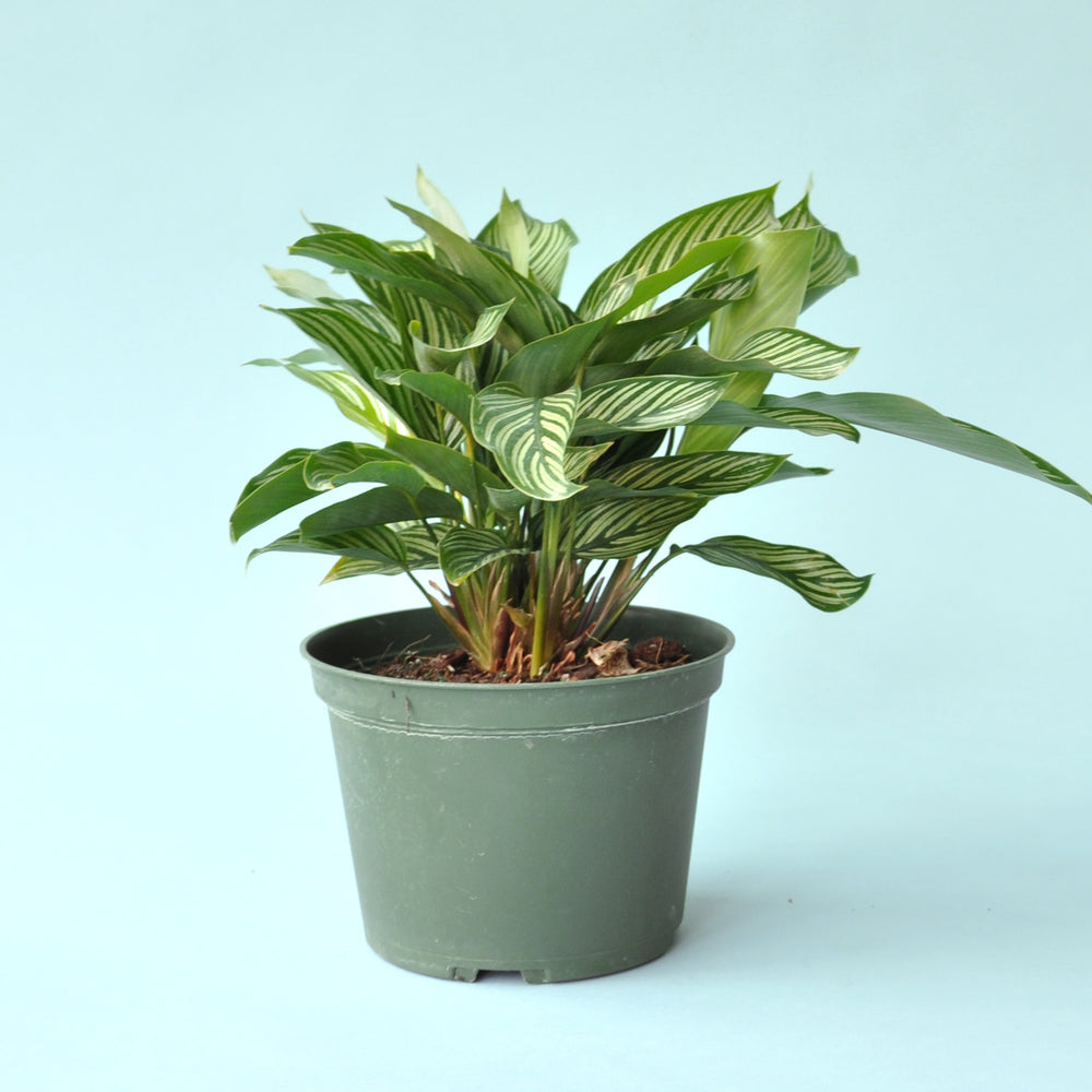 Load image into Gallery viewer, Calathea Pinstripe 6""