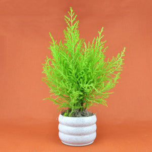 Potted Cypress Goldcrest Plant
