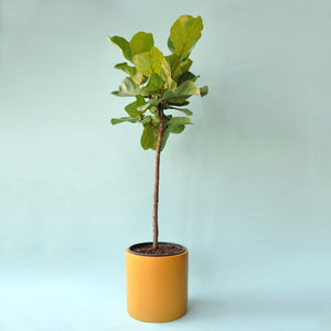 Load image into Gallery viewer, Ficus Lyrata Tree 10""