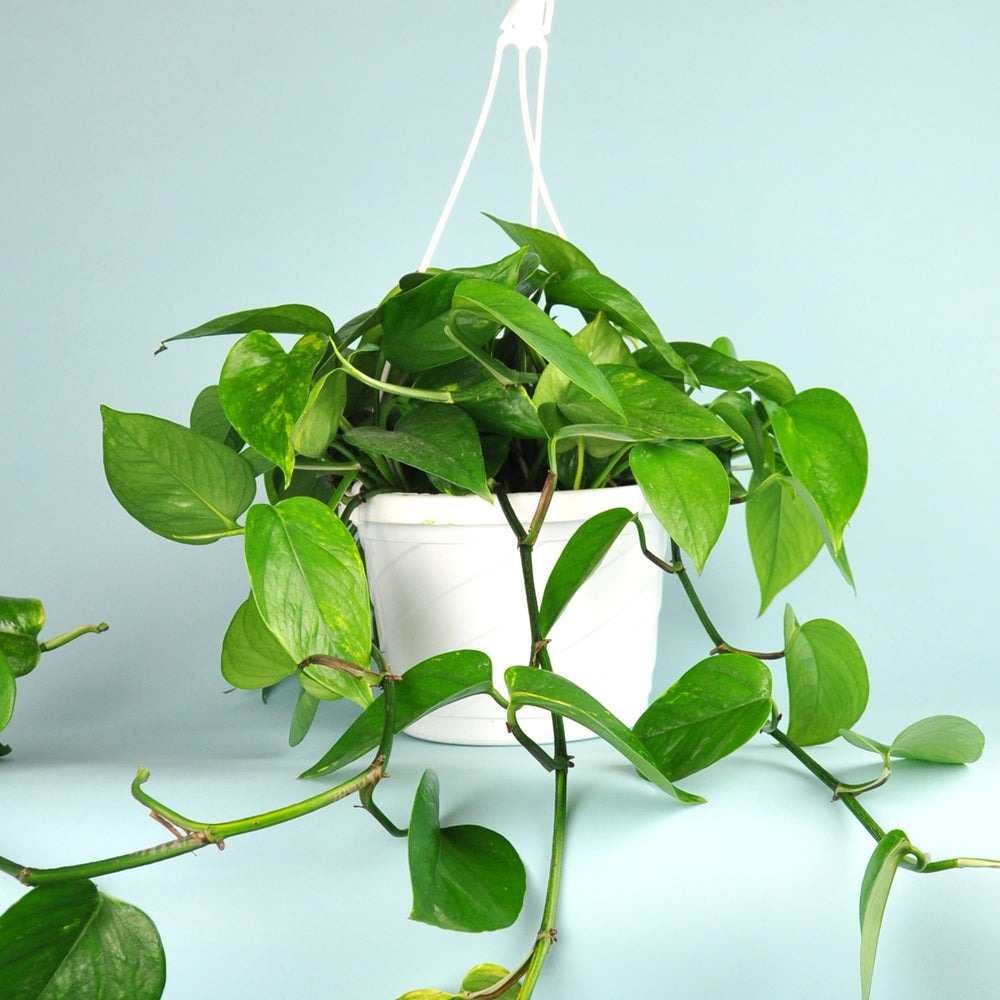 Load image into Gallery viewer, Golden Pothos Plant 8""