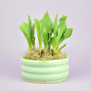 Potted Tulips 6""