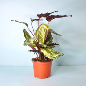 Load image into Gallery viewer, Calathea Medallion Plant 5""