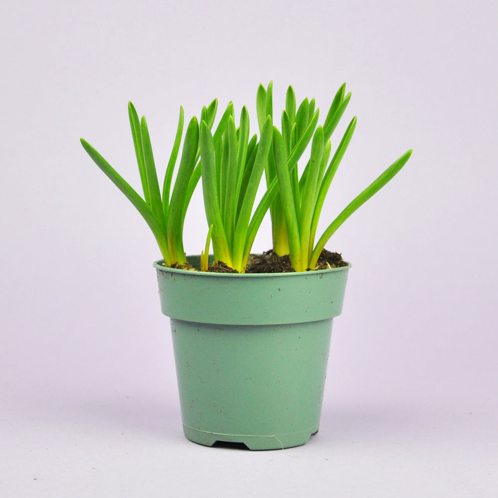 Potted Blue Muscari 4""