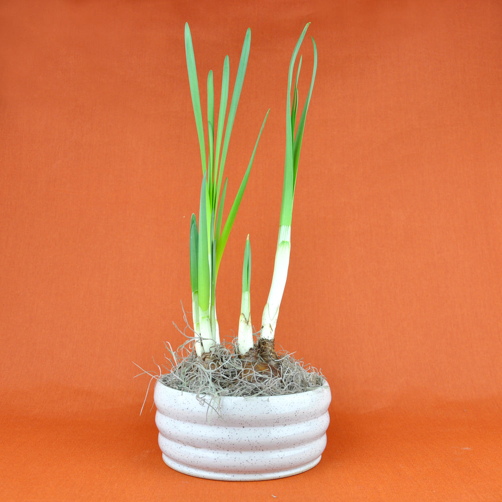 Potted Paperwhite Plant