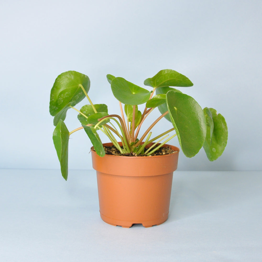 Load image into Gallery viewer, Pilea Plant 5""