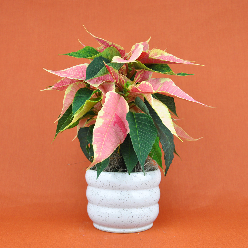 Small Potted Poinsettia Plant