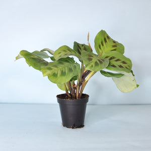 Load image into Gallery viewer, Prayer Plant 3""