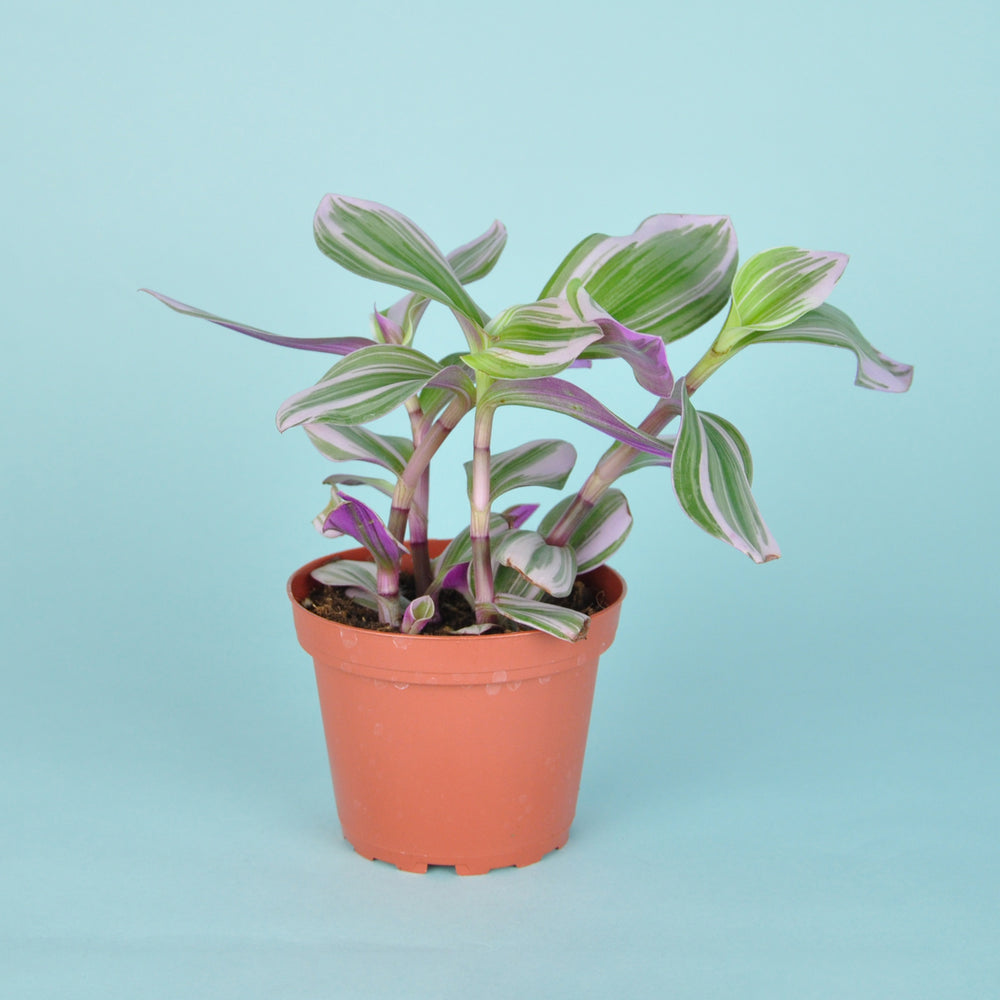 Load image into Gallery viewer, Tradescantia Nanouk Plant 4""