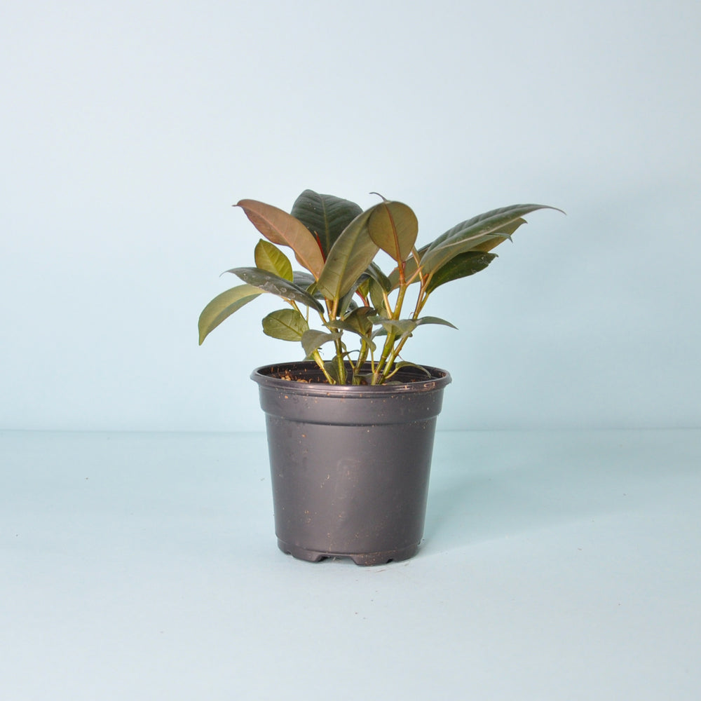 Burgundy Rubber Plant 3""