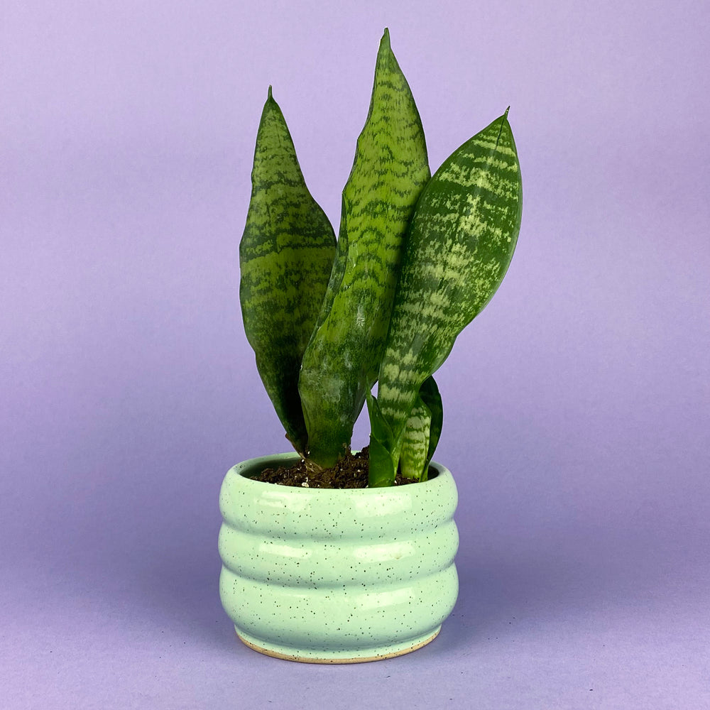 Load image into Gallery viewer, Zeylanica Sansevieria Plant 3.5""