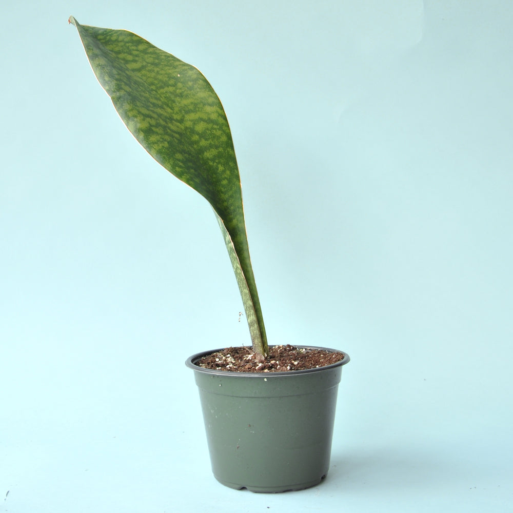 Load image into Gallery viewer, Whale Fin Sansevieria Plant 6""