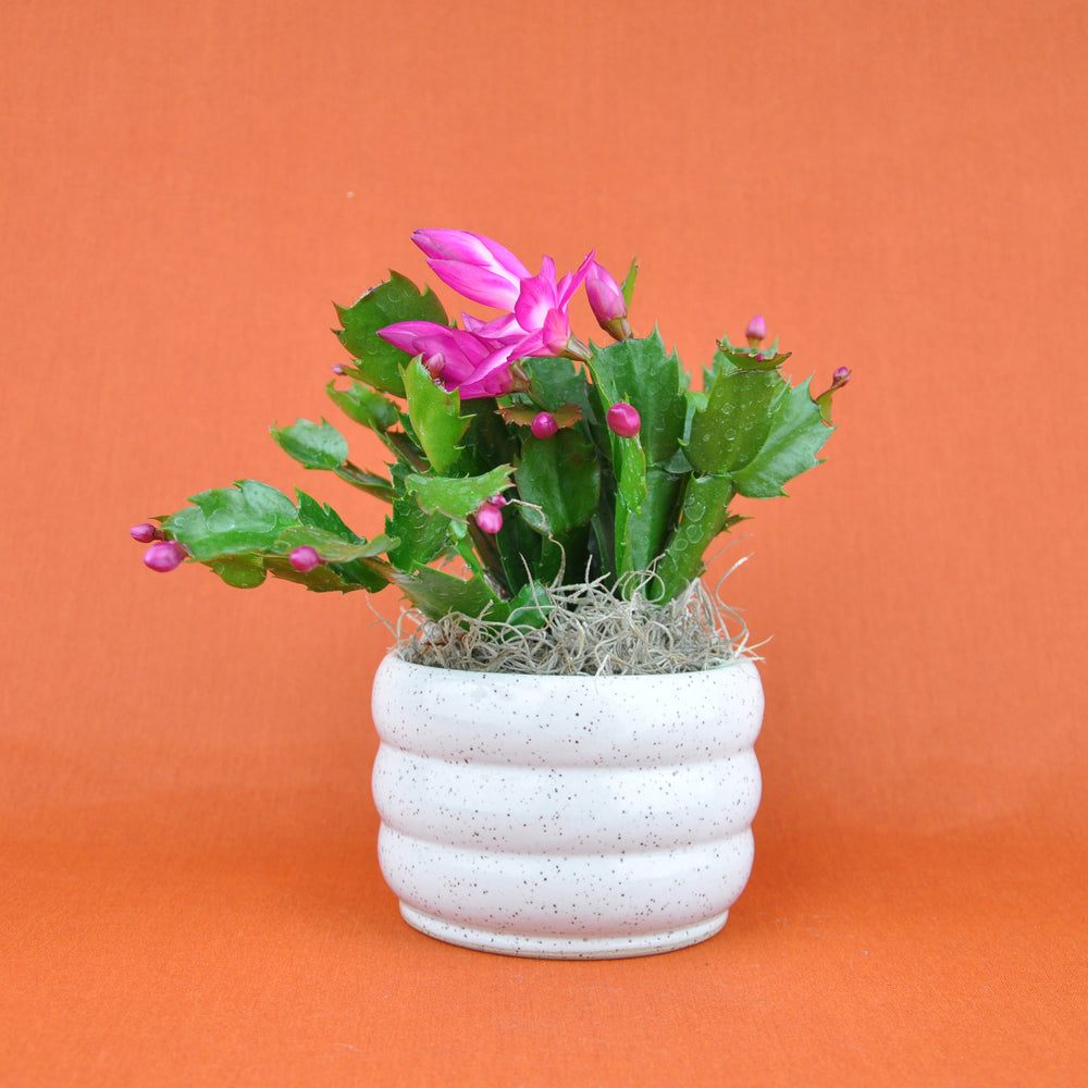 Potted Christmas Cactus