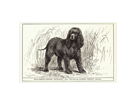 Irish Water Spaniel - 5x8""