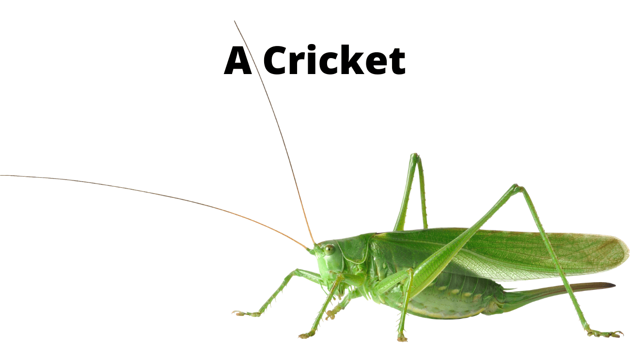 picture of a cricket