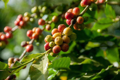 Partially ripe Arabica coffee beans growing on the branch.