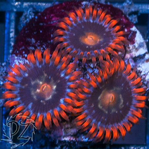 PZ Friendly Fire zoas