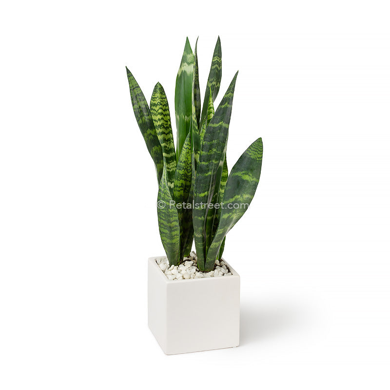 Snake plant Sansevieria - long vertical lush leaves with light and dark green variegation  planted in a white ceramic cube pot and finished with white pebbles by Petal Street Flower Company florist