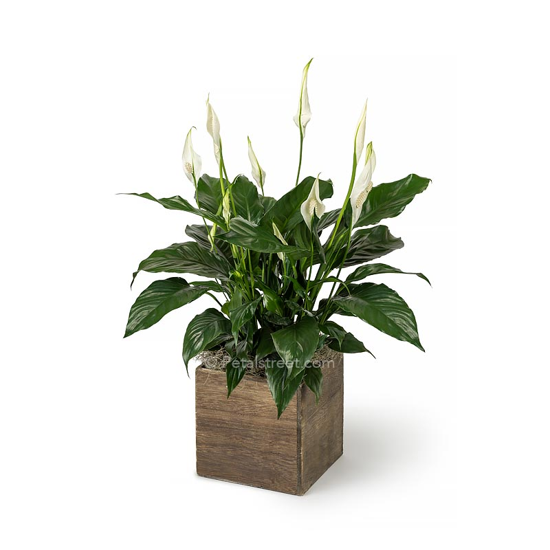 Lush green Peace lily Spathiphyllum plant with new white flower blooms planted in a wood box
