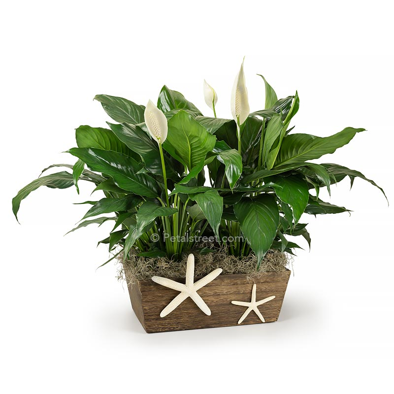Two Peace lily Spathiphyllum plants with new white flower blooms planted in a wood box with a Starfish  accent on front for a nautical theme