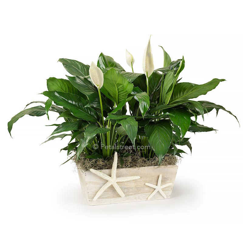 Two Peace lily Spathiphyllum plants with new white flower blooms planted in a white washed wood box with a Starfish  accent on front for a nautical theme