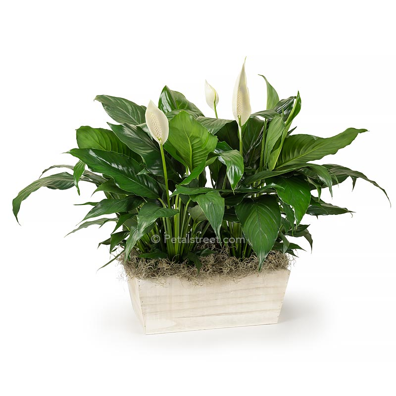 Two Peace lily Spathiphyllum plants with new white flower blooms planted in a white washed wood box