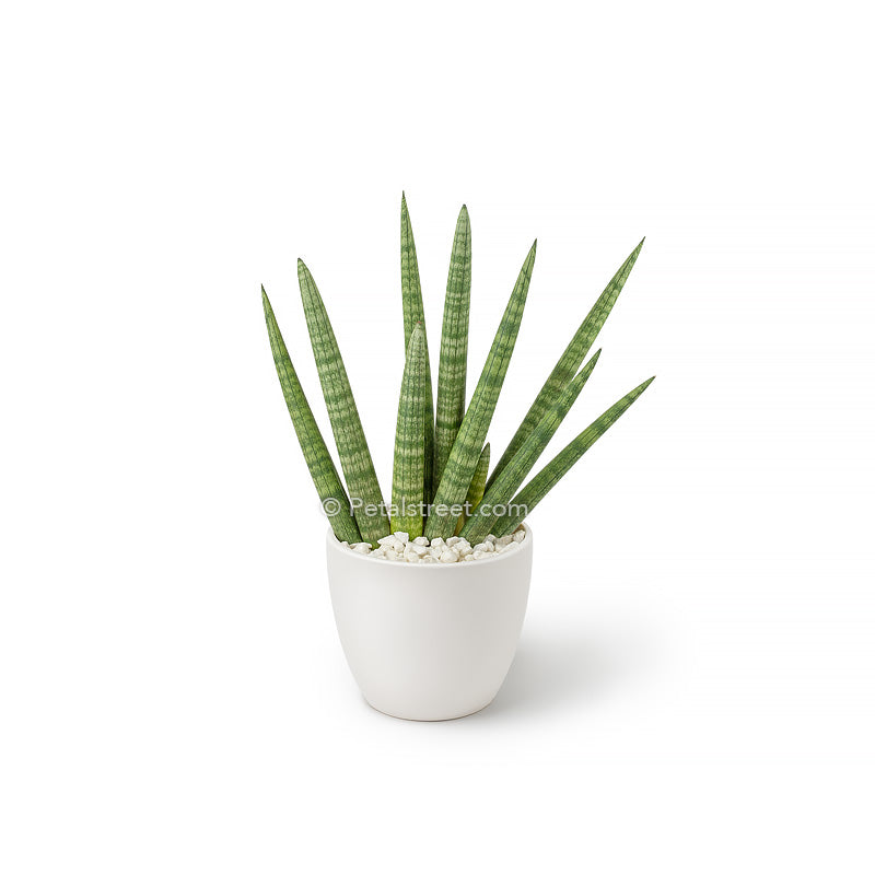 Sansevieria starfish plant in a white ceramic vase with mini white stones by Petal Street Flower Company Florist