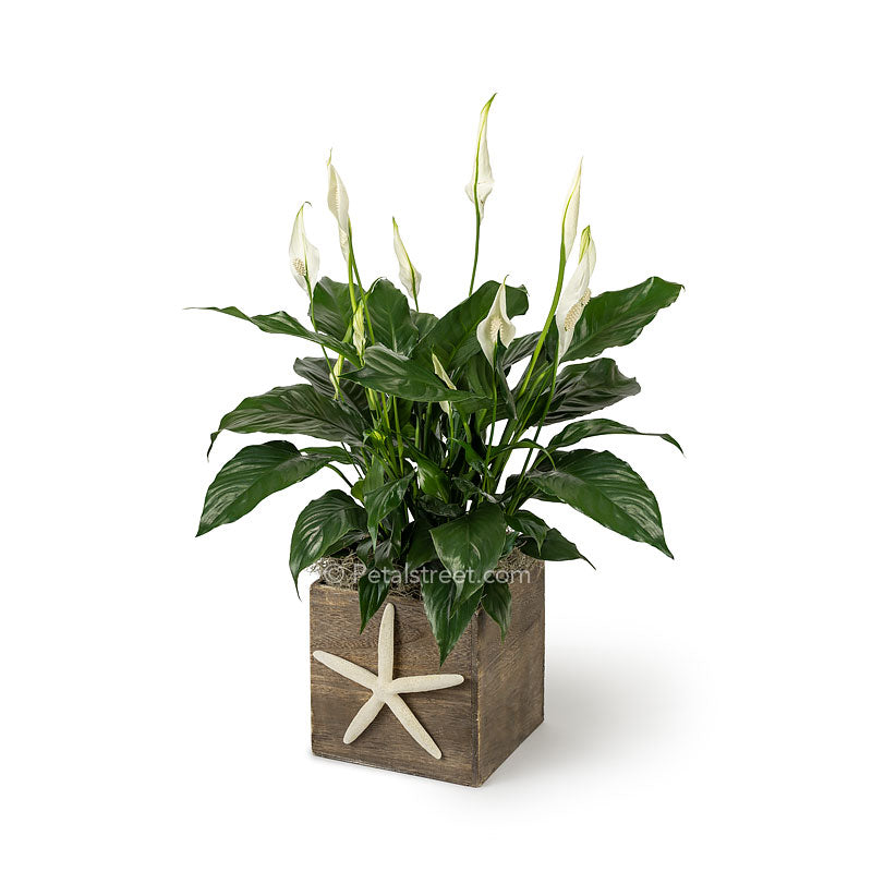 Lush green Peace lily Spathiphyllum plant with new white flower blooms planted in a wood box with a Starfish  accent on front for a nautical theme
