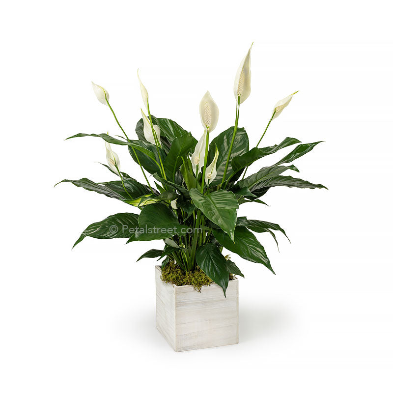 Lush green Peace lily Spathiphyllum plant with new white flower blooms planted in a white washed wood box