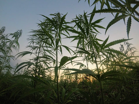 Hemp farmer training