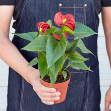 "Load image into Gallery viewer, Anthurium 'Red' - 4"" Pot"