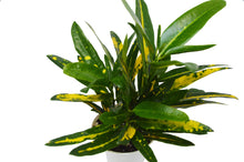 "Load image into Gallery viewer, Croton 'Sunny Star' - 4"" Pot"