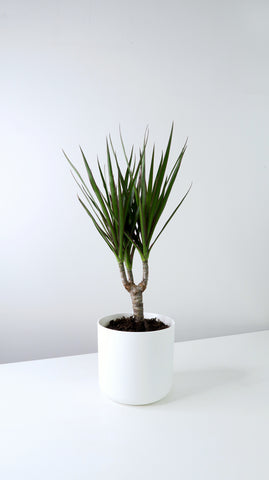 Small Dragon Tree (Dracaena marginata)