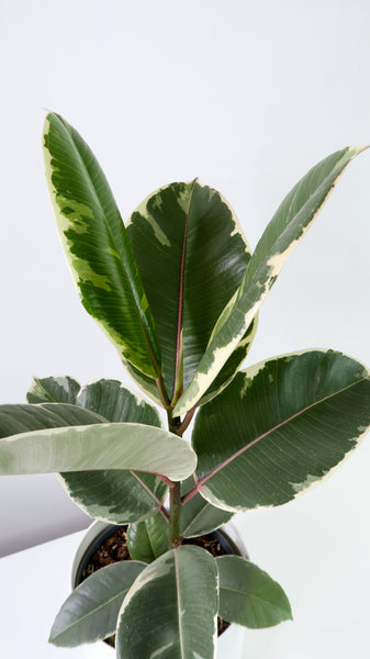 Small Variegated Rubber Plant (Ficus elastica)