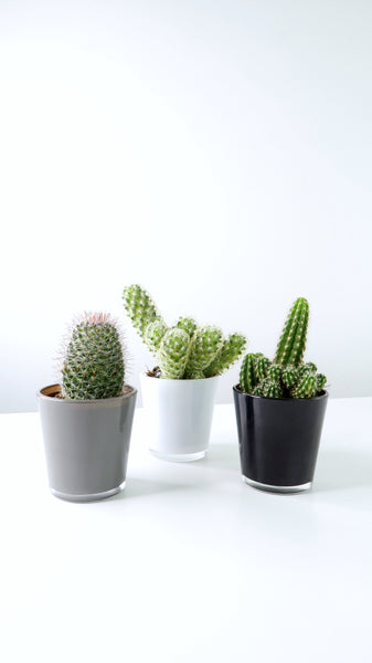 Mini Cacti Gift Set