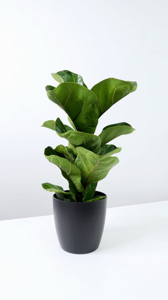Small Fiddle Leaf Fig (Ficus lyrata)