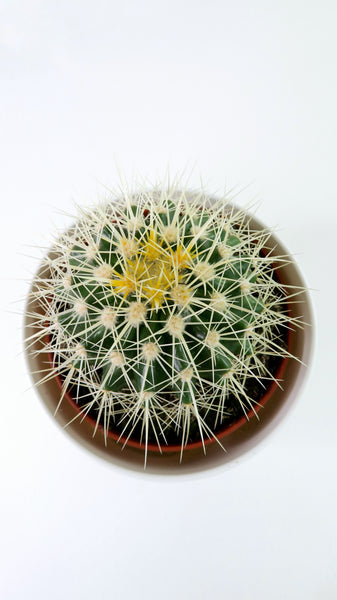 Echinocactus Grusoni - Golden Barrel