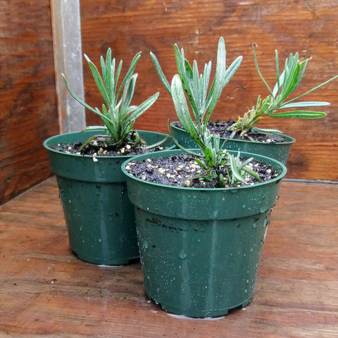Potted Herbs - Lavender Hidecote