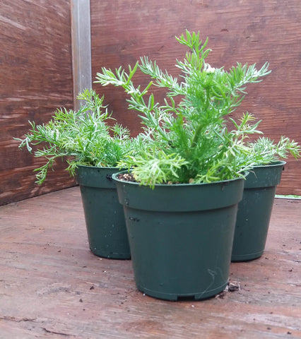 Potted Herbs - Chamomile