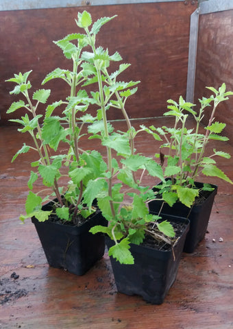 Potted Herbs - Catnip