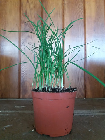 Potted Herbs - Chives
