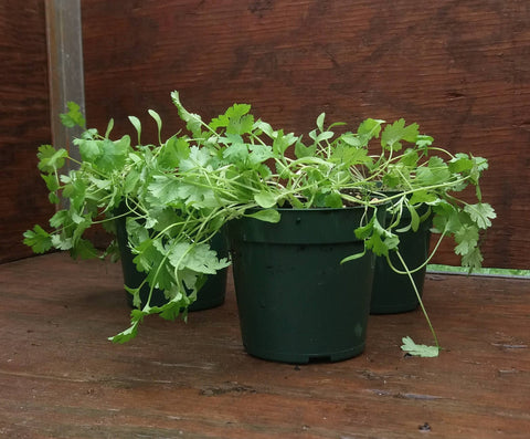 Potted Herbs - Cilantro