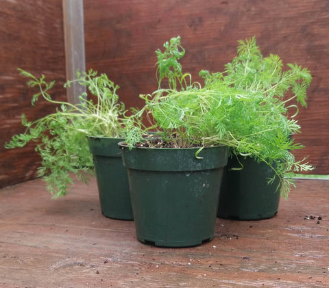 Potted Herbs - Dill