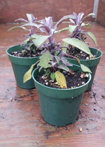 Potted Herbs - Purple Sage