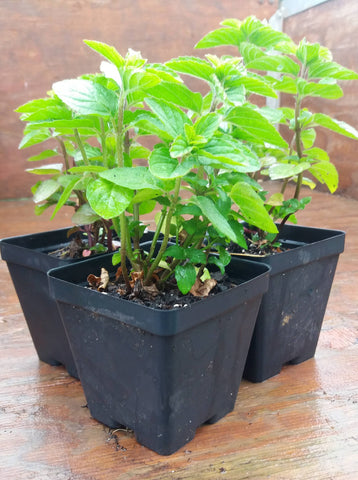 Potted Herbs - Mint Mojito