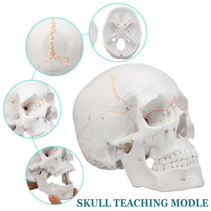 1:1 Skull Model Convenient of Human Skull Model Medicine Skull Human Anatomical Anatomy Head Studying Anatomy Teaching Supplies