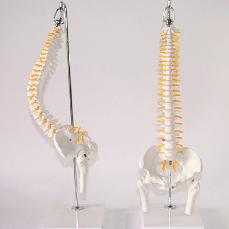 45cm 1:1 Adult Flexible Lumbar Bend Spine Model Humans Skeleton Model with Spinal Disc Pelvis Model Used for Massage ,yoga Etc.