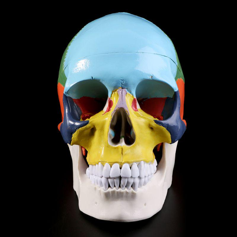 colored Skull removable medical skeleton model Anatomical skulls models skeletons medical skull supplies Teaching model