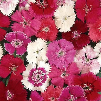 Dianthus Ideal Select Mix - Full Flat