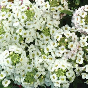 Alyssum Clear Crystal White - Half Flat