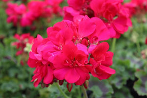 Geranium Calliope Hot Pink - One Pot